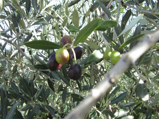 I Coppi: Olives ripening off terrace