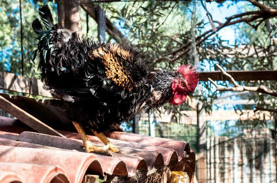 Agriturismo Marongiu's rooster