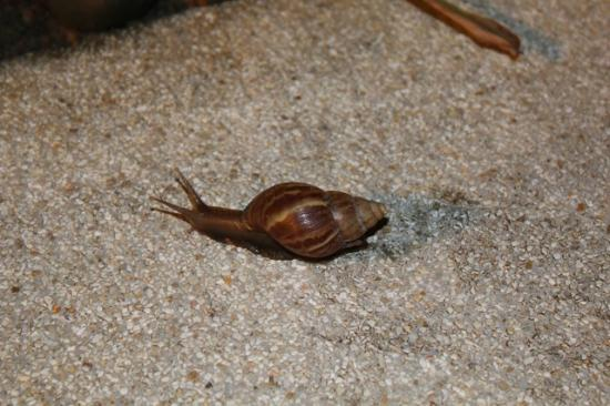 Langkawi Lagoon Resort: Found a snail - On the way to our room. Full of nature