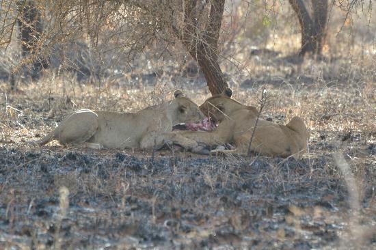 Oliver's Camp, Asilia Africa: Two feline friends enjoying dinner
