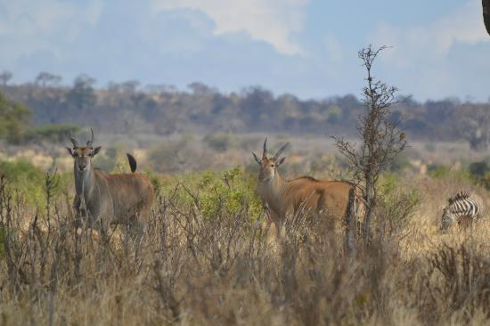 Oliver's Camp, Asilia Africa : Water bucks