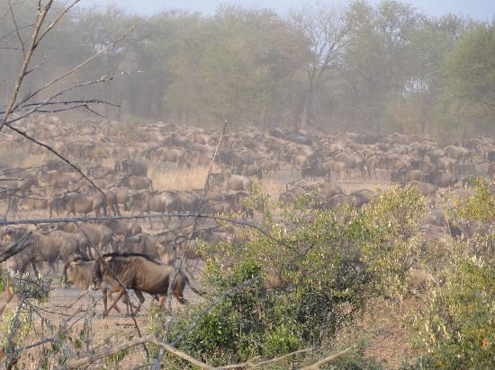 Olakira Camp, Asilia Africa: Wildebeest dust cloud 
