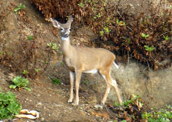The Shelter Cove Oceanfront Inn: Deer on the beach