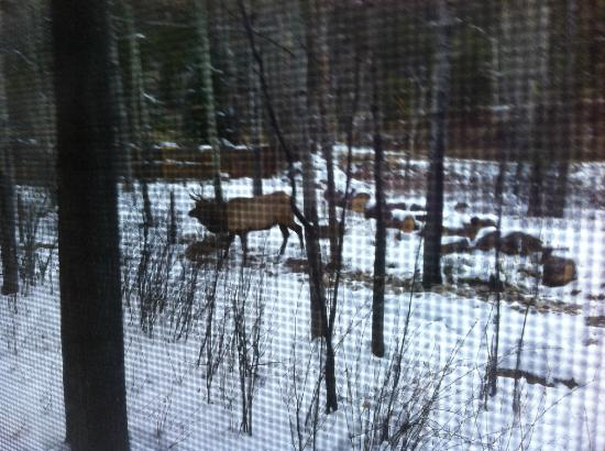 Streamside on Fall River: Elk behind cabin
