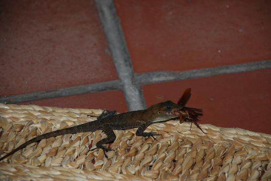 أنسي تشاستانيت ريزورت: Little lizard keeping the bugs at bay 