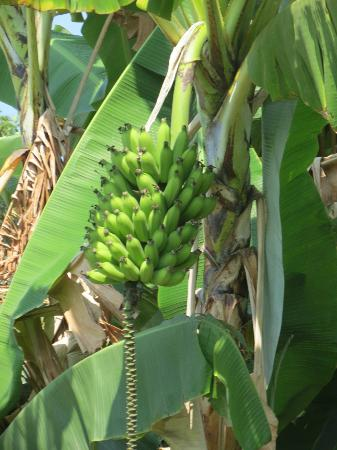 Greenwell Farms: Apple Bananas!