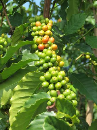 Greenwell Farms: Coffee cherries