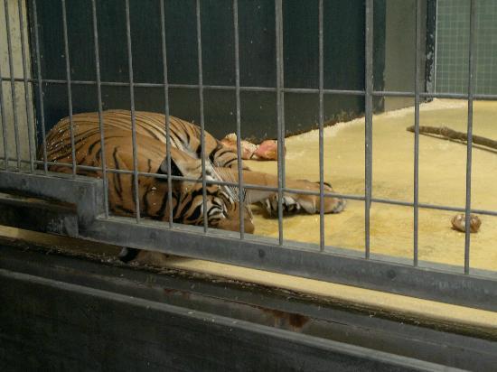 tiger picture of zoologischer garten berlin zoo berlin tripadvisor. Black Bedroom Furniture Sets. Home Design Ideas