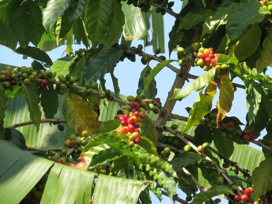 Greenwell Farms: Coffee cherries