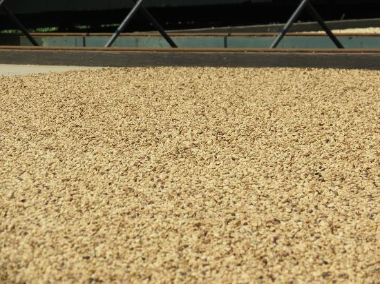 Greenwell Farms: Beans drying in the sun.