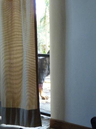 Pura Vida Hotel: Lola peaking through our door hoping to play more fetching