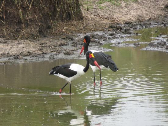 تينتسوالو سفاري لودج: We spotted this pair of saddle beaked storks on several occasions.