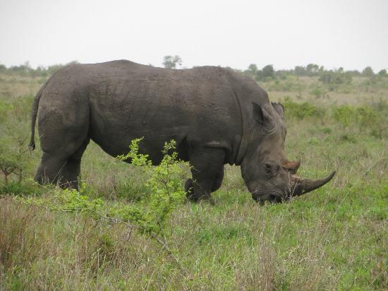 تينتسوالو سفاري لودج: Rhino, one of MANY we saw on our game drives