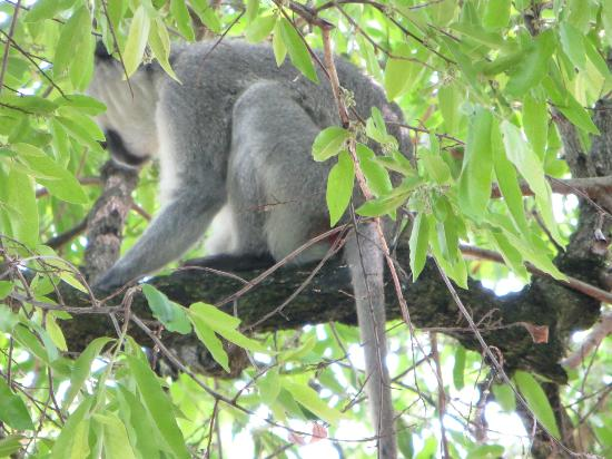 Tintswalo Safari Lodge: This monkey or his twin loved to steal stuff off the deck at the main lodge.