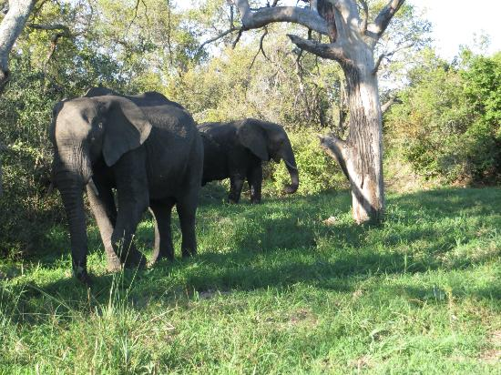 Tintswalo Safari Lodge: These are two of the elephants who liked the fresh water near the deck of the main lodge buildin