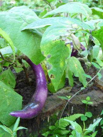 Pura Vida Hotel: Eggplants in Nhi's garden