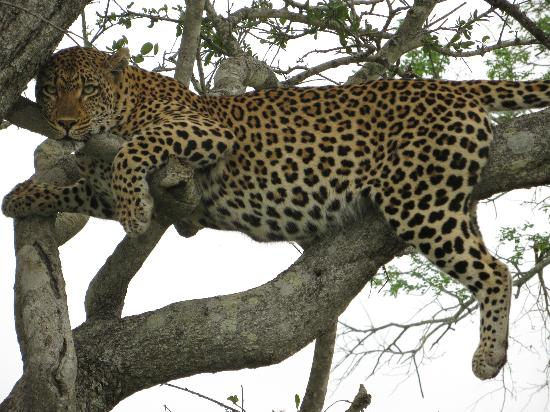 Londolozi Varty Camp: Lazy Leopard