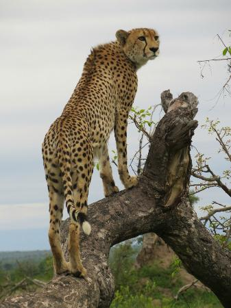 Londolozi Varty Camp: Cheetah model, he posed in various positions as though he were....