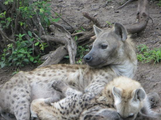 Londolozi Varty Camp: Hyena mom tending to the packs pups