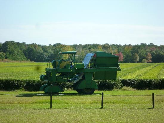 Charleston Tea Plantation: The Green Giant - One of a kind
