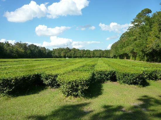 Charleston Tea Plantation: The tea fields