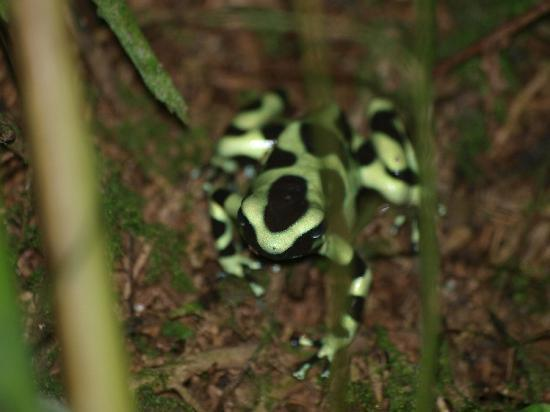 Playa Negra Guesthouse: Black & Green dart frog in front of Yellow Cottage