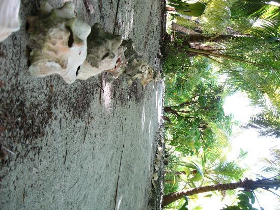 Glover's Atoll Resort: pathways lines with conch shells