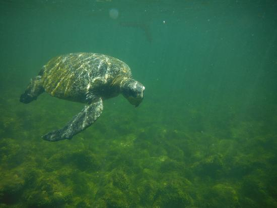 Los Tuneles: sea turtle