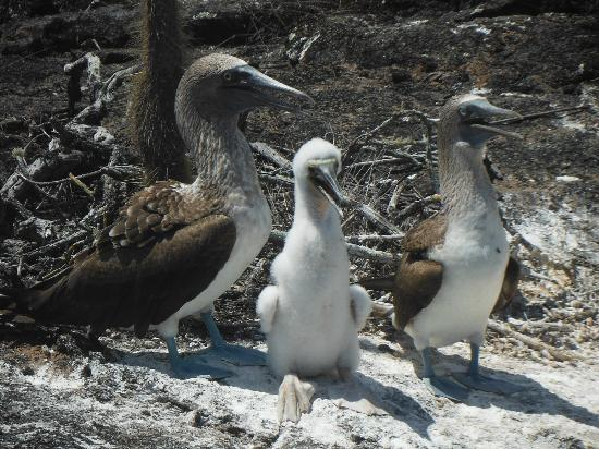 Los Tuneles: blue footed boobie famile