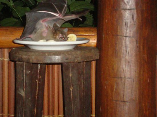 Pousada Colibri: Fledermaus im Ueberflug