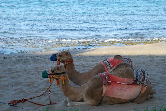 Shangri La Barr Al Jissah Resort & Spa-Al Bandar: Camel rides