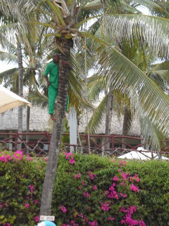 Voyager Beach Resort: anyone for coconut?
