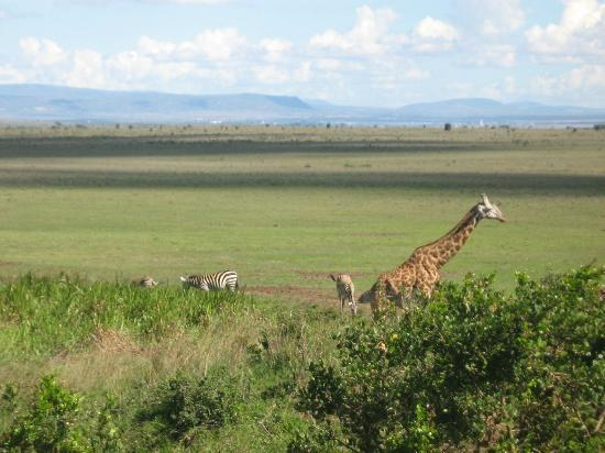 Nairobi National Park: Giraffe