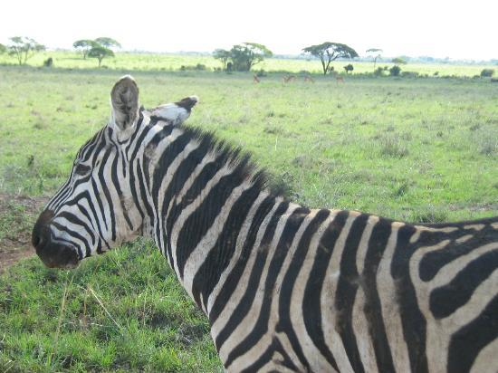 Nairobi National Park: Zebra