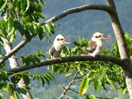 Kookas Bed & Breakfast: kookaburra