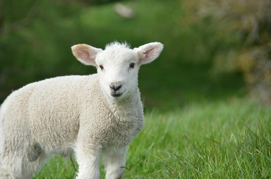 Kamahi Cottage: Lambs 