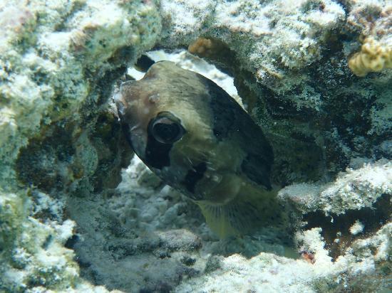 Cinnamon Hakuraa Huraa Maldives: Igelfisch 