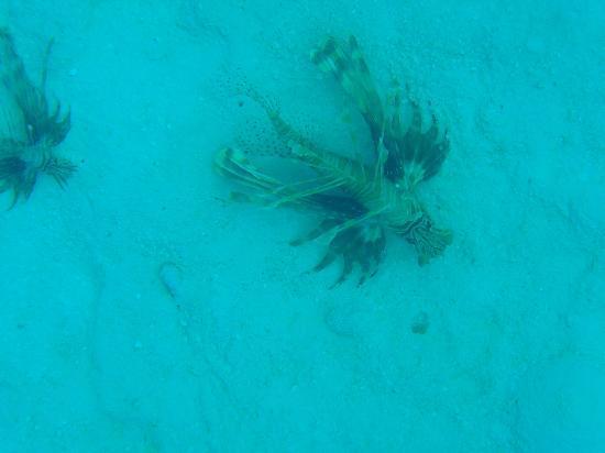 Cinnamon Hakuraa Huraa Maldives: lion fish