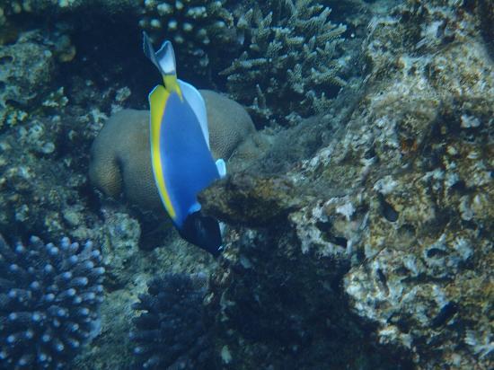 Cinnamon Hakuraa Huraa Maldives: Doktorfisch