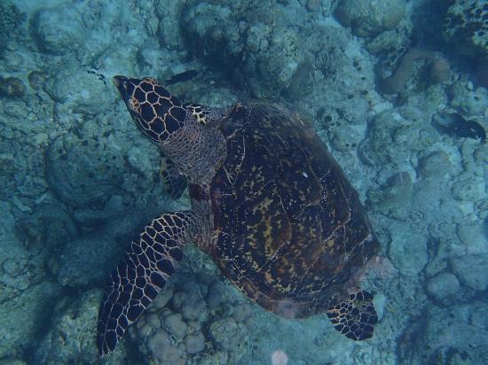 Cinnamon Hakuraa Huraa Maldives: Schildkr