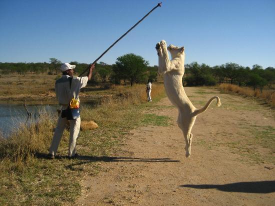 Polokwane, Sudáfrica: Lion Walk