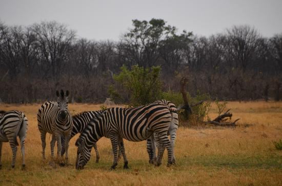 Camp Moremi: More Zebras