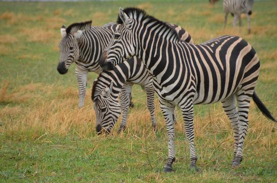 Camp Moremi: Zebras at Moremi