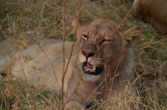 Camp Moremi: Lion