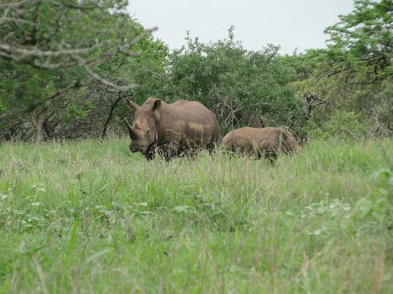 Rhino River Lodge: We saw rhino mama and baby after entering the gate, before even getting to reception!