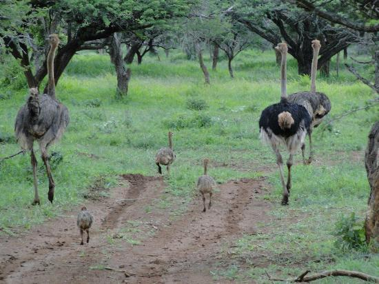 Rhino River Lodge: Ostrich family