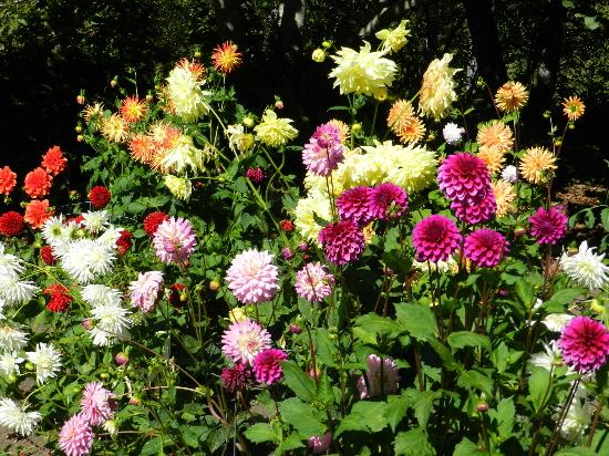 Mendocino Coast Botanical Gardens: Dahlias in full flower