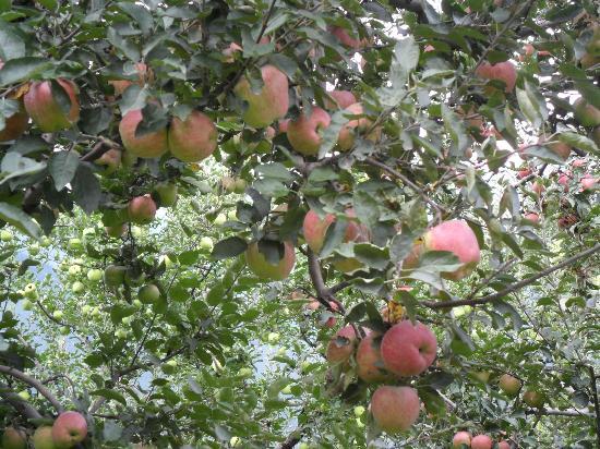 Jana Falls: Apple Tree