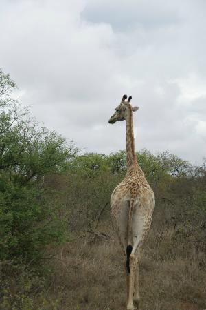 Pondoro Game Lodge: Pondoro Lodge Giraffe