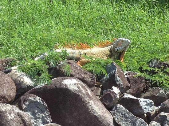 Belair Beach Hotel: Iguana